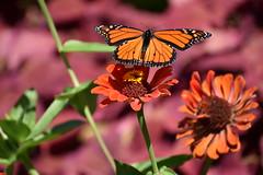 Monarch (Overduebook) Tags: sunkengardenslincoln monarch butterfly butterflies flowers