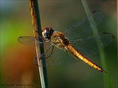 Courage doesn't always roar. Sometimes courage is the little voice at the end of the day.... (itucker, thanks for 4+ million views!) Tags: macro bokeh green dragonfly hggt hdt raulstonarboretum wanderinggliderdragonfly wanderingglider coth5