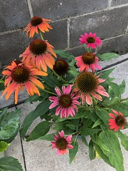 c2018 Sept 28, Orange & Red Coneflowers IPhoneography 10 (King Kong 911) Tags: coneflowers hibiscus asters purslane plants growing green petals blooming
