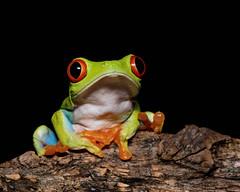 Red-eyed Tree Frog derp (Jen St. Louis) Tags: agalychniscallidryas redeyedtreefrog amphibian captive frog nikond750 nikon105mmf28 jenstlouisphotography wwwjenstlouisphotographycom