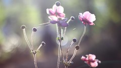 Beauty of Autumn (Nathalie_Désirée) Tags: autumn flower flora floral rosé pink anemone bokeh nature morning beauty beautiful nice harmony light sunlight blossom sky canoneos600d canon50mm macro closeup cobbweb