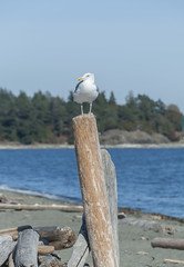 2018-09-26_14-18-24 Watchful Gull (canavart) Tags: esquimaltlagoon royalroads gull post victoria vancouverisland britishcolumbia bc canada