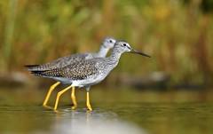 Synchronized (hd.niel) Tags: greateryellowlegs shorebirds birds marsh stream migration fall autumn nature photography ontario wildlife