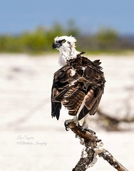 Gorgeous Osprey. (Albatross Imagery) Tags: followme follow tigertailbeach tigertailbeachmarcoislandflorida birdphotography eyes feathers nikkor usa florida marcoislandflorida nikond500 nikonwildlife nikonphotography nikon naturephotography nature photographer photography photo wildlifephotographer wildlifephotography flickrwildlife flickr instagram animals wildanimals wildbirds gorgeous beautiful birding bird birds birdofprey birdsofprey raptor raptors osprey