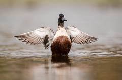 Norther Shoveler Wing Flap (nikunj.m.patel) Tags: ducks nature wild waterfowl northernshoveler fall nikon naturephotography