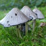 Sauvage au jardin, champignons, Bosdarros, Béarn, Pyrénées Atlantiques, Nouvelle-Aquitaine, France. thumbnail