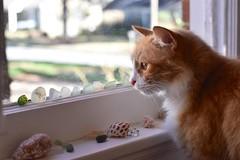 Jimmy (rootcrop54) Tags: jimmy orange ginger longhaired male tabby seaglass found beach glass windowsill crystal window neko macska kedi 猫 kočka kissa γάτα köttur kucing gatto 고양이 kaķis katė katt katze katzen kot кошка mačka gatos maček kitteh chat ネコ ocean color colors