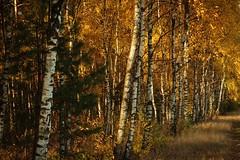 IMGP0541 (grun.berger) Tags: jesien jesiennafotografia jesiennebarwy jesiennyklimat daryjesieni wood forest tree nature landscape fall season birch outdoors park jesień autumn zielonagóra zgora zielonagora sun scene scenic