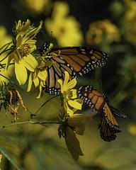 MonarchButterfly_SAF7732 (sara97) Tags: danausplexippus butterfly copyright©2018saraannefinke endangered insect missouri monarch monarchbutterfly nature photobysaraannefinke pollinator saintlouis inflight