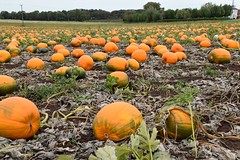 Pumpkin field (AMShaw1991) Tags: pumpkins fields nature halloween southyorkshire