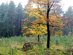 On the edge of a young forest (Jacek Magryta) Tags: jacek borydolnoslaskie landscape lowersilesia light tree zielonka zgorzeleccounty zielonkavillage wegliniec autumn forest colours nature poland polska young