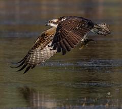 Amazing Osprey (Beth Sargent) Tags: osprey birdofprey fisheagle lake nature wildlife
