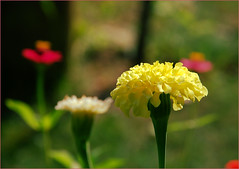 DSC_4479 (FMAG) Tags: 201809 dzialka kwiatki macro