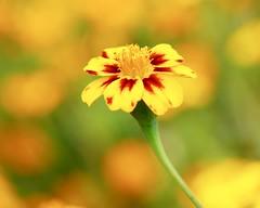 Yellow (docwiththecamera) Tags: leaf flower bokeh yellow closeup nature garden botanical