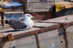 Seagulls 15 (pan_orama) Tags: marokko maroc morocco essaouira beach harbour seagulls fish sun color travel