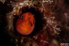 _B5A8478-25092018-Villas_ (azotati2011) Tags: nimarsrl villasimius sardegna italy acquamandiving underwaterlife canon7dmkii pronimarunderwaterhousing mediterraneo underwatershot macro uwphotography