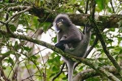 Semnopithèque obscur .. Dusky leaf monkey (geolis06) Tags: geolis06 asia asie thaïlande kaengkrachannationalpark nature rainforest nikon nikond7200 sigma150600mmf563contemporary trachypithecusobscurus lesemnopithèqueobscur duskyleafmonkey primate