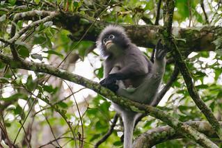 Semnopithèque obscur .. Dusky leaf monkey