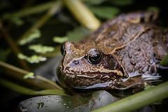 frog (Bea Antoni) Tags: dof canon closeup makro macro natur nature wildlife tier animal frosch frog