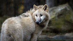 Polarwolf (Fritz Zachow) Tags: polarwolf wolf raubtier wildparklüneburgerheide niedersachsen nindorf deutschland