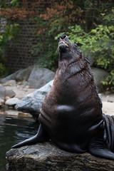 Brown fur seal (Cloudtail the Snow Leopard) Tags: seebär tier animal mammal säugetier robbe sürdamerikanischer arctocephalus brown fur seal cape south american australian pusillus zoo leipzig