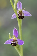 Ophrys abeille (Ophrys apifera) (Laurent Cornu) Tags: aquitaine dordogne france ophrysabeille ophrysapifera orchidaceae orchidales orchidée orchidées fleur macro
