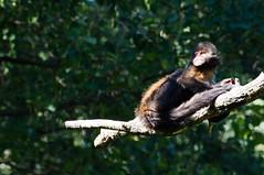 Geelborstcapucijnaap - Yellow-brested capuchin (Den Batter) Tags: nikon d7200 zooparc overloon geelborstcapucijnaap yellowbrestedcapuchin cebusxanthosternos