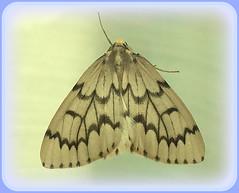 Moth (Explore) (FernShade) Tags: moth mothwings inset nature