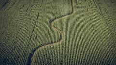 corn field (drone photo) (Steve Stanger) Tags: landscape maize corn farm drone dji phantom3 phantom djiphantom dronephotography path