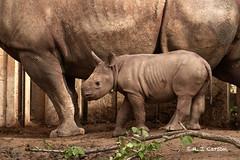 A Little Rhino (mjcarsonphoto) Tags: clevelandmetroparks zoo wildlife blackrhinoceros
