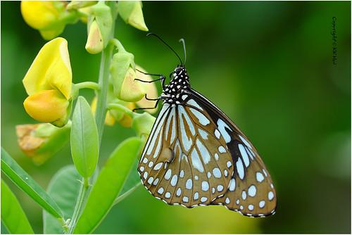 Blue Tiger (Tirumala limniace) 青斑蝶 - 111018_DSF2678j
