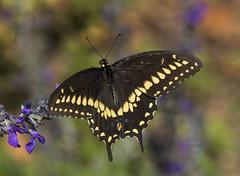 Black Swallowtail (Papilio polyxenes) (AllHarts) Tags: blackswallowtailpapiliopolyxenes dixongardens memphistn naturesspirit thesunshinegroup sunraysshowcase challengeclubchampions
