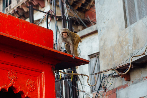 Aggressive Monkey, Mathura India