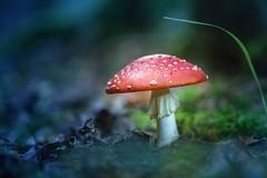 ein Männlein steht im Walde.. (SonjaS.) Tags: smile s smileonsaturday pilz mushroom herbst autumn season´sflora sonjasayer wald forest deutschland germany bokeh dunkel gift giftig toxic