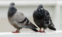 Birds with attitude (Jeffrey Balfus (thx for 3.3 Million views)) Tags: birds santacruz sonya7m2 sonyilcea7m2 sonyemount mirrorless fullframe sonyalpha sonya7ii sony70400mmf45gssmii