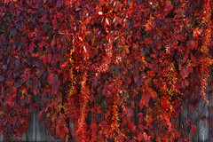 When the fence turns red (beyondhue) Tags: fence red leaf leaves climbing plant beyondhue fall autumn ottawa ontario canada
