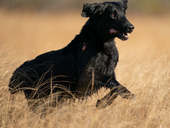 A9_01780 (msmedsru) Tags: labrador flat coated retriever dogs autumn norway