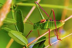 Eupholidoptera Chabrieri (Sakuros) Tags: macro chabrieri sony sonynex sonynex5r nex5r 5r eupholidoptera eupholidopterachabrieri 100mm 100mmmacro 100mmmacrocanon comlite