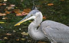 DSC04517b (Naturecamhd) Tags: sonycybershotdschx90v dschx90v hx90v newyorkbotanicalgarden nybg botanicalgarden nature bronx green eco sonyhx90v thebronx twinlakes greatblueheron birding wildlife