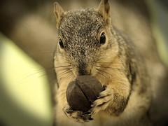 Squirrel, Morton Arboretum. 433 (EOS) (Mega-Magpie) Tags: canon eos 60d nature wildlife outdoors squirrel tree the morton arboretum lisle dupage il illinois usa america sepia vignette cute nut hungry food
