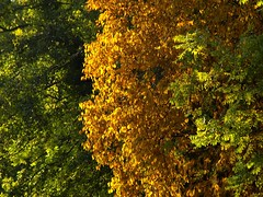 Three Trees (cycle.nut66) Tags: three trees autumn leaves gold green layered colours olympus e510 evolt four thirds zuiko