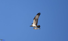 Osprey with a huge Grey Mullet. (spw6156 - Over 6,826,606 Views) Tags: osprey with huge grey mullet 600mm lens 14 cropped image copyright steve waterhouse