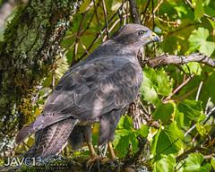 Common buzzard (Buteo buteo)-1964 (George Vittman) Tags: bird raptor jura buzzard tree nikonpassion wildlifephotography jav61photography jav61 fantasticnature