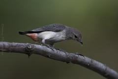 Female Mistletoe Bird collecting webs for nest. (danny.mccreadie2) Tags: female mistletoe bird collecting webs for nest