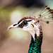 Peafowl Closeup