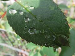 IMG_1040 (gidlark) Tags: flora leaves drops raindrop raindrops