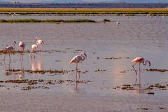 Lesser Flamingos, Lake Amboseli (Ray in Manila) Tags: amboseli kenya africa birds eos650d efs55250mm fauna grass lake lakeamboseli nationalpark nature plant equator view water wildlife wild exotic lessorflamingo flamingo subsahara phoenicoparrusminor aves savanna safari beak alkaline desert nyiridesert nyikadesert taru natural world naturalworld