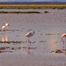 Lesser Flamingos, Lake Amboseli