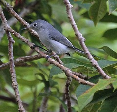 Gnatcatcher (ACEZandEIGHTZ) Tags: bluegrey gnatcatcher bird backyard birdwatcher nikon d3200 tree bokeh coth coth5 sunrays5