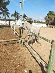 5 (redi3103) Tags: egyptian arabian horse for sale buy champion